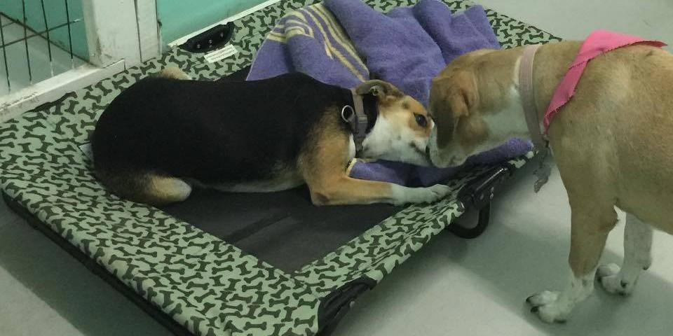 SAGA Foster Dog Camillia
